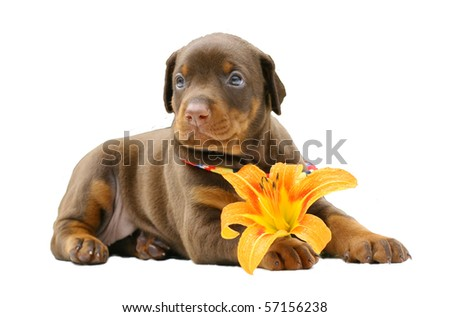 Doberman puppy with yellow flower, isolated