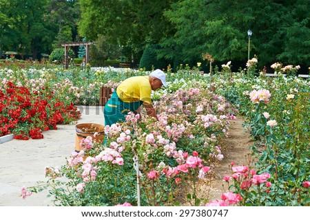 DOBRICH, BULGARIA, 29.06.2015: The gardener takes care of the roses in the garden in Bulgaria in Dobrich