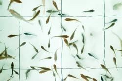 Doctor fish. Garra rufa swimming in pool. It helps to take skin care for people
