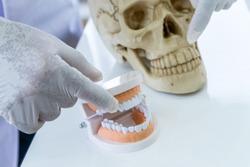 Doctor wearing glove pointing at the teeth model and a fake human skull. Forensic science and anatomy concept.