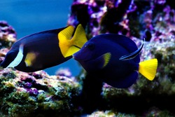 Doctor wrasse cleaning Black  yellowtail Foxface and Xanthurum Purple tang