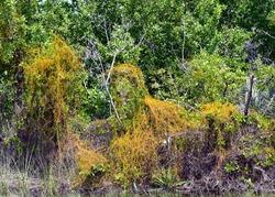 Dodder grass, an invasive orange vine growing over green native bushes.