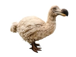 Dodo isolated on white. Stuffed dodo bird, an extinct flightless bird from Mauritius, east of Madagascar in the Indian Ocean.