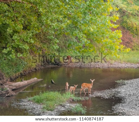 Doe deer and two young fawn deer standing in a creek early in the evening; Missouri, Midwest; woods in the background
