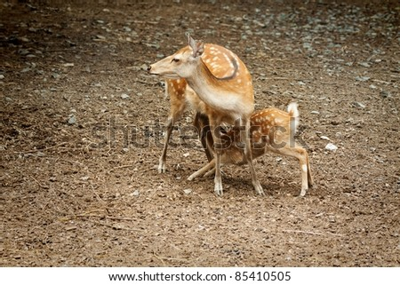 Doe nursing her young fawn
