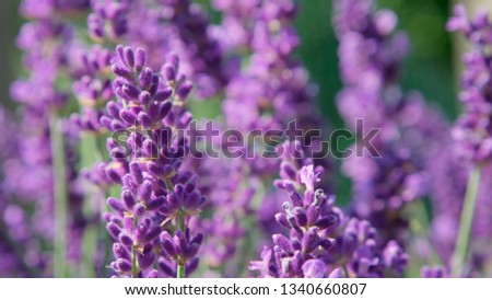 DOF, MACRO, CLOSE UP: Lilac lavendula blooms gently moving in light summer wind. Aromatic fragrance of vividly colored herbal bush is scattered around countryside by gentle spring wind on sunny day. #1340660807