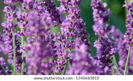 DOF, MACRO, CLOSE UP: Lilac lavendula blooms gently moving in light summer wind. Aromatic fragrance of vividly colored herbal bush is scattered around countryside by gentle spring wind on sunny day. #1340660810