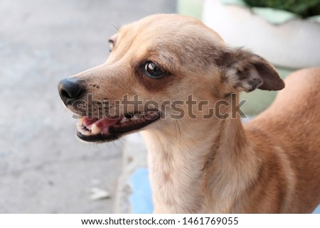 Dog a redhead, a dirty-blooded. Half-breed. The concept of breeding pedigreed Chihuahua. Pet shop, pet supplies for dogs. #1461769055