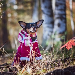 Dog, a toy terrier, a stylishly dressed little dog in a sweater and a sheepskin coat, against the backdrop of late autumn. Clothes for dogs.