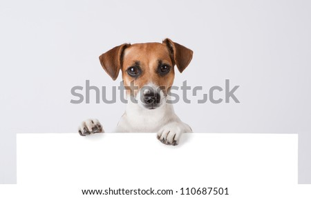 Dog above banner. Cute Jack Russell terrier with empty white banner. Mockup template for gift certificate
