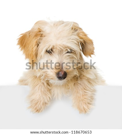 Dog above white banner looking at camera.  isolated on white background