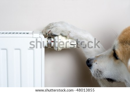 Dog adjusting heater thermostat, household concept. The dog is Japanese Akita Inu.