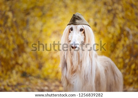 Dog, Afghan hound in a military cap, against the background of the autumn forest. Host protection concept, dog protector #1256839282