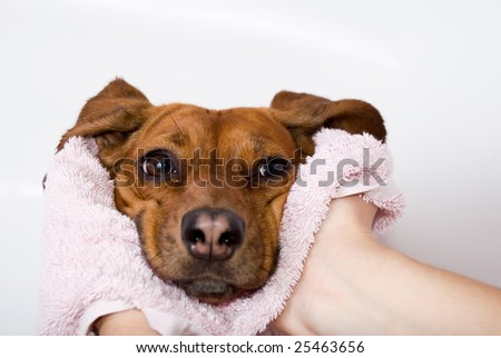 Dog after the bath