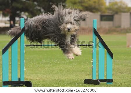 Dog Agility beardie jumping