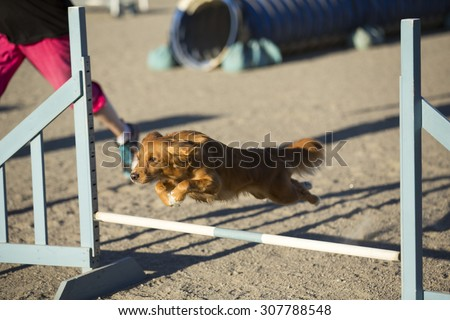 Dog agility in action on a summer evening on a sand track. The dog breed is nova scotia duck tolling retriever also known as a toller.