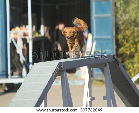 Dog agility in action on a sunny summer evening. Image taken on a sand track. The dog breed is nova scotia duck tolling retriever also known as toller.