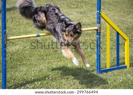 Dog Agility jumping over a hurdle during an agility competition