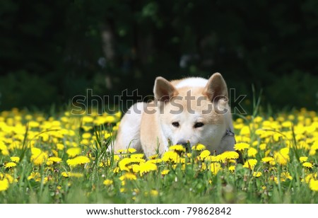 dog, Akita Inu lies on a green young grass among Flowers of yellow color