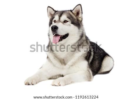 dog Alaskan malamute