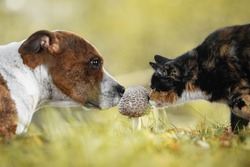 Dog and сat are smelling a mushroom together in the yard in autumn. Friendship of dog and cat. American staffordshire terrier dog.
