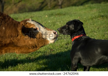 Dog And Calf Very Close #24762046
