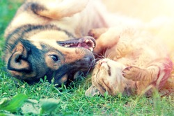 Dog and cat best friends playing together outdoor. Lying on the back on grass.