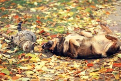 Dog and cat best friends playing together outdoor. Lying on the back together. Enjoying autumn