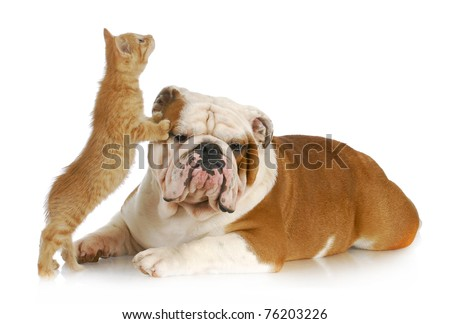 dog and cat playing - english bulldog and kitten playing on white background