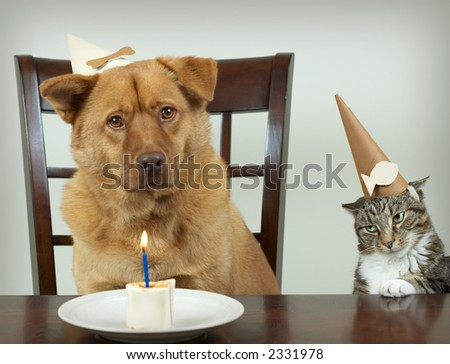 Dog and cat sitting at the table and celebrating Birthday anniversary. Focus on the jealous cat.