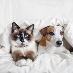Dog and cat under white blanket. Pets friendship. Puppy and kitten at home