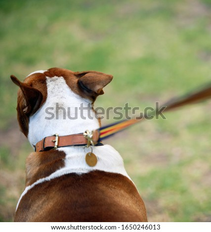 Dog and lead, close-up, rear view (differential focus)