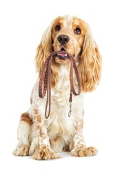 Dog and leash in the teeth on a white background