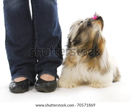 dog and owner - shih tzu puppy sitting looking up at owner on white background