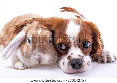 Dog and rabbit together. Animal friends. Sibling rivalry rabbit bunny pet white fox rex satin real live lop widder nhd german dwarf dutch with cavalier king charles spaniel dog. Christmas animals.