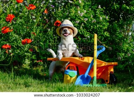 Dog as funny gardener with garden tools and wheelbarrow near poppy flowers