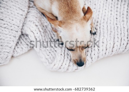 Dog at home. Domestic small cute terrier lying on knitting wool, cozy atmosphere #682739362