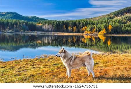 Dog at mountain forest lake. Dog on lake shore. Dog in nature. Autumn lake dog portrait