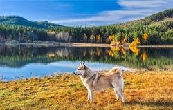 Dog at mountain forest lake scenery nature autumn. Mountain lake dog portrait