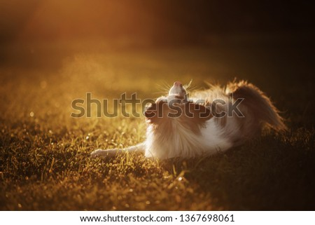 dog at sunset. Pet for a walk in nature in park. Border Collie