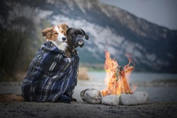 Dog at the camfire. Two adventure dogs enjoy the campfire. Border collie and boxer dog are friends. Traveling with dog.