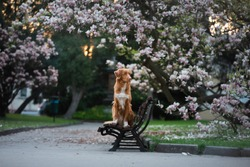 dog at the magnolia flower. Pet on bench in park. pink flowering garden. Nova Scotia Duck Tolling Retriever. photo on nature