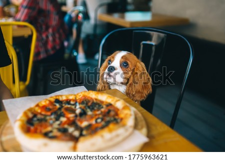 Dog at the table with pizza. Puppy Cavalier King Charles Spaniel in the cafe. Pet at city restaurant. Horizontal portrait Photo stock ©