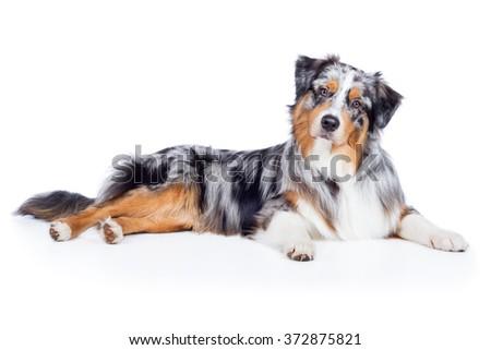 dog australian shepherd blue...