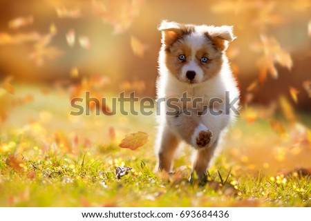 dog  australian shepherd puppy...
