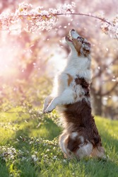 Dog, Australian Shepherd stands on hind legs under cherry blossoms with falling petals, smells a branch