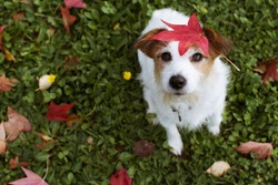DOG AUTUMN LEAVES. ADORABLE PORTRAIT OF A JACK RUSSELL TERRIER WITH A RED FALL  LEAF OVER THE HEAD AND LOOKING UP THE CAMERA.