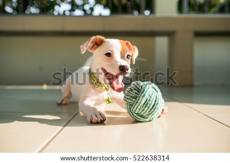 dog baby Jack russell terrier playing ball, Jack russell terrier dog with teeth. #522638314