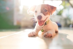 dog baby Jack russell terrier smiling watch the evening sun.