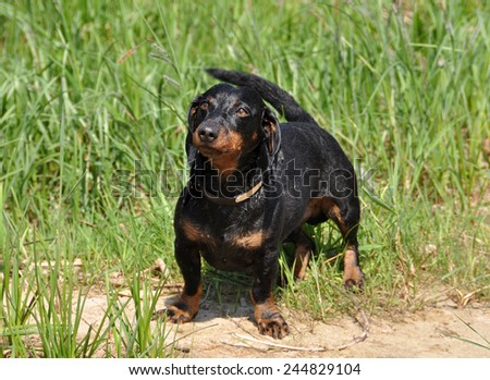 dog barks. Dachshund stands on a green background on the grass. Color fees is tan.